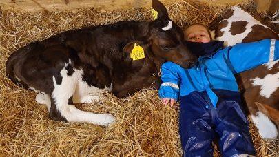 Gutt sovende sammen med kalver korr B Tilde
