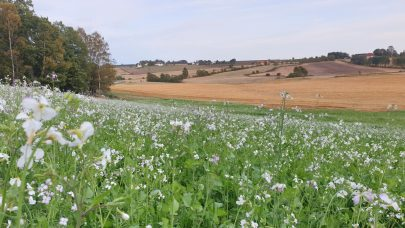 En vellykket etablering av fangvekster krever en gjennomtenkt plantevernstrategi. Foto: Silja Valand