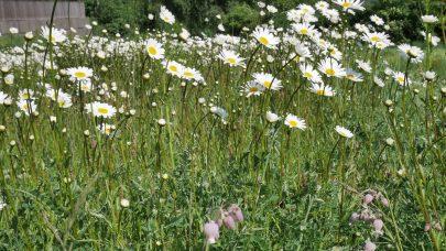 Prestekrage har etablert seg godt i den nye blomsterenga. Foto: John Ingar Øverland