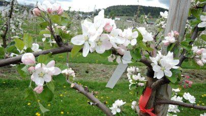 Blomstring i eple. Foto: Gaute Myren