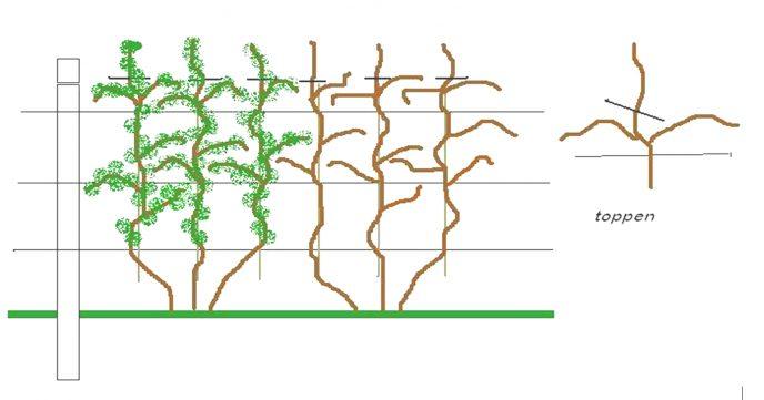 Bilde 12 Fullt utviklet ripsplante i espaliersystem Illustrasjon av Stanislav Strbac
