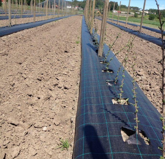 Bilde 15 Nyplantet stikkelsbaerfelt Foto stanislav Strbac
