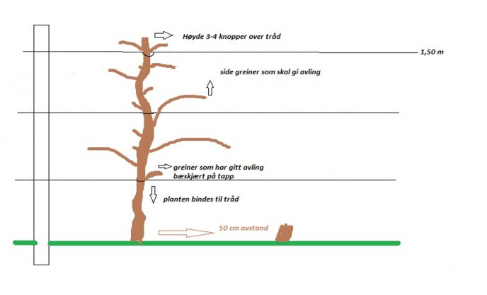 Bilde 24 Stikkelsbaerplante i espaliersystem Illustrasjon Stanislav Strbac