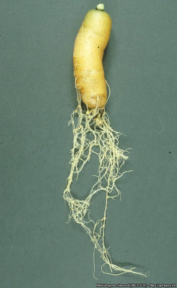 Meloidogyne chitwoodi gulrot. Foto: EPPO (NPPO of the Netherlands)