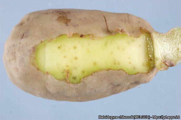 Rotgallnematode Meloidogyne chitwoodi på potet. Foto: EPPO (NPPO of the Netherlands)
